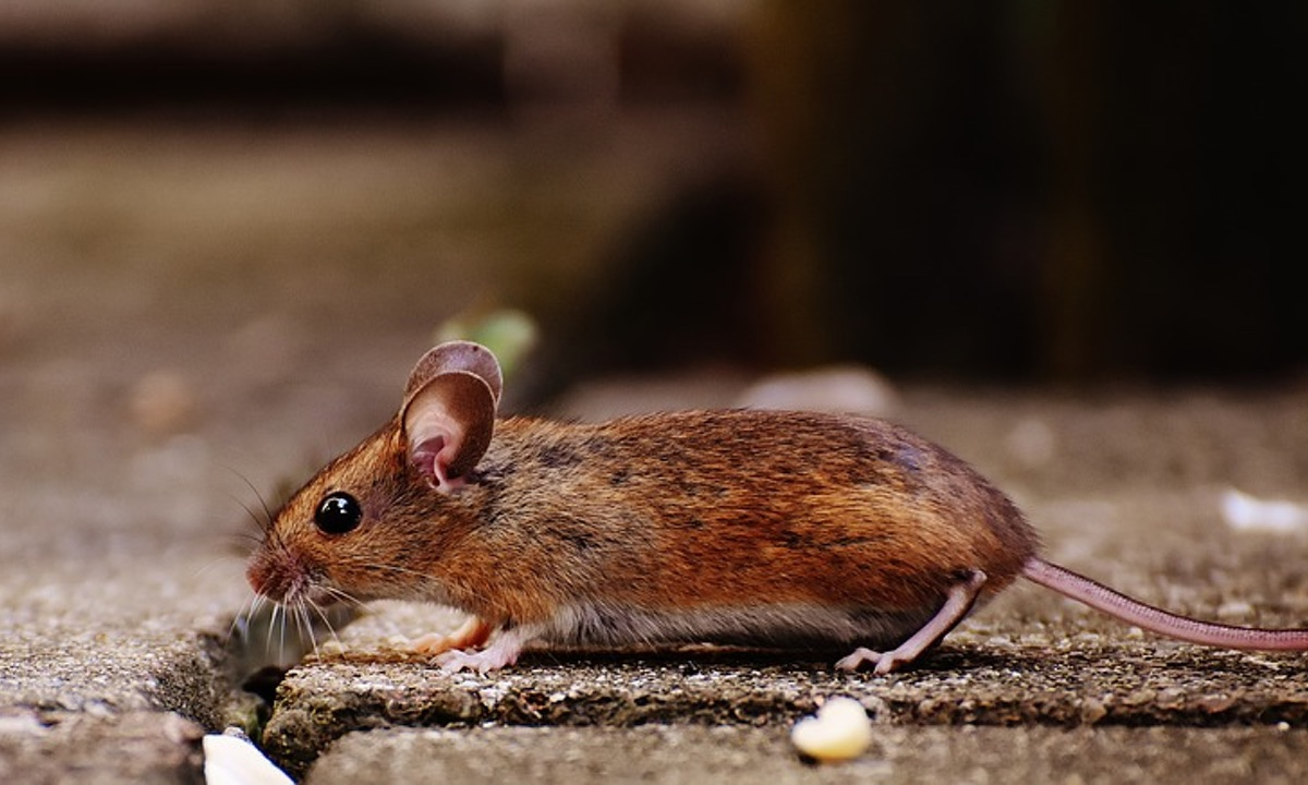 Woman Dies Due to Virus from Rodent Droppings, Officials Urge ...