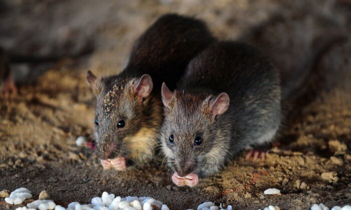 Chinese Man Reportedly Dies From Hantavirus, Experts Say People ...