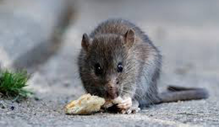 Hantavirus death in China spreads fear. How dangerous is the virus ...