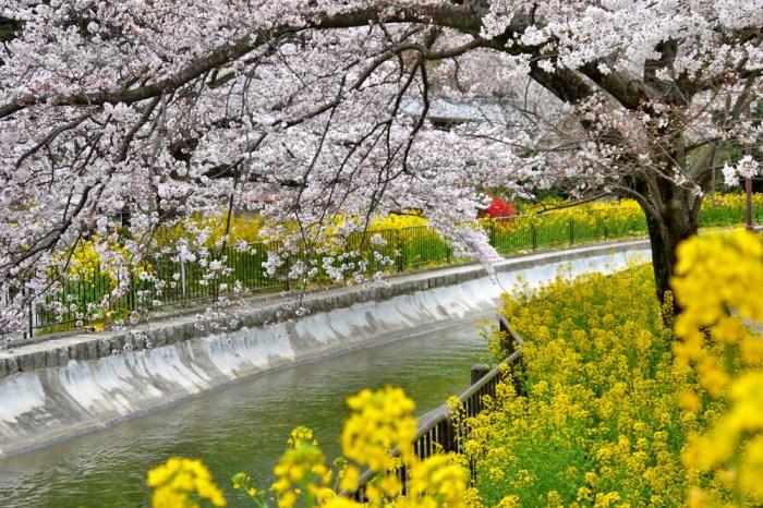 2021日本櫻花最前線!日本各地開花、滿開時間預測!