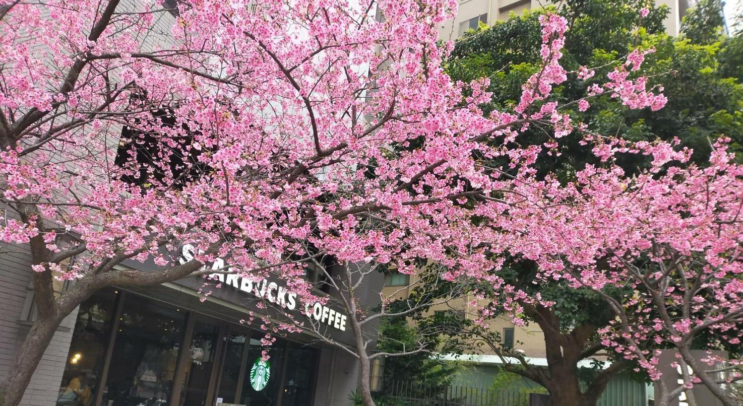 【全台最有粉味的星巴克】林口文化三路星巴克讓你邊喝咖啡、邊賞櫻真的免出國!(期間限定❀)