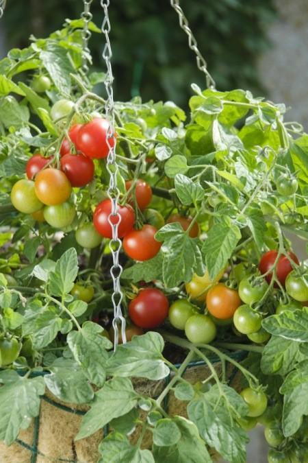 Growing Cherry Tomatoes   ThriftyFun