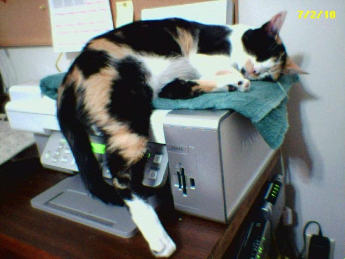 gizmo calico cat thriftyfun