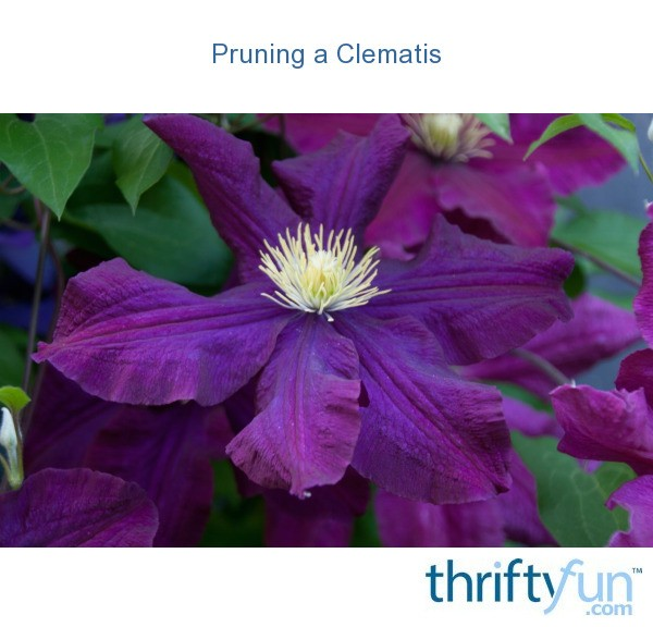 Pruning a Clematis  ThriftyFun