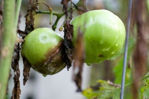 Treating Soil After Tomato Blight  ThriftyFun