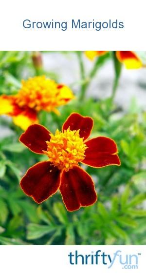 Growing Marigolds Thriftyfun