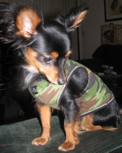 Chihuahua Miniature Pinscher Mix Photos  ThriftyFun