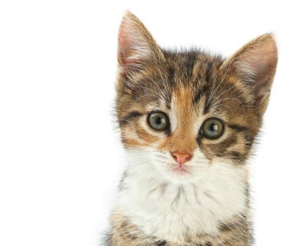 persian cat to buy