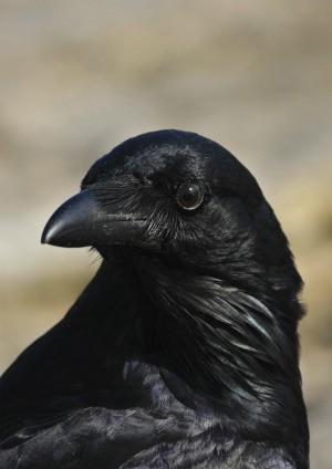Getting Rid of Crows  ThriftyFun