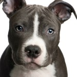 Training A Pit Bull Puppy Thriftyfun