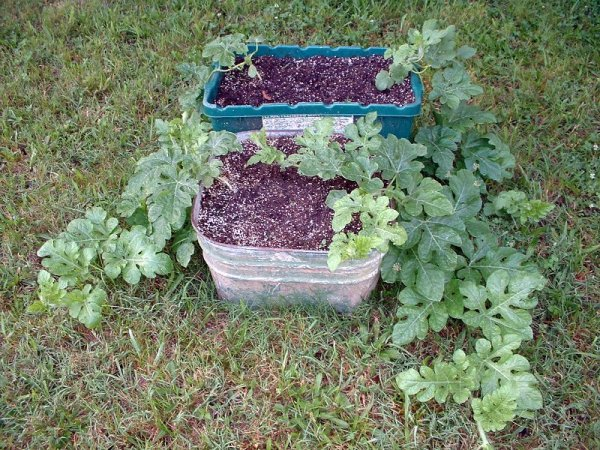 Growing Watermelon In Containers  Thriftyfun
