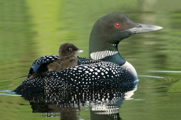 Cute Ducks In Water Wallpaper Loon Information And Photos Thriftyfun