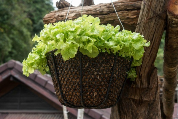 Growing Vegetables in Hanging Baskets  ThriftyFun
