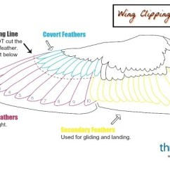 Duck Wing Diagram 94 Ford Ranger Wiring Clipping A S Wings Thriftyfun You Will Be The Primary Feathers Just Below Covert Do Not Cut Above Could Result