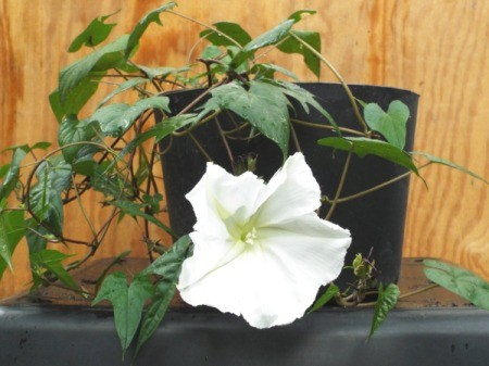Growing Moonflowers  ThriftyFun
