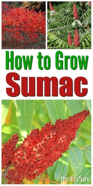 How to Grow Sumac in Your Garden | ThriftyFun