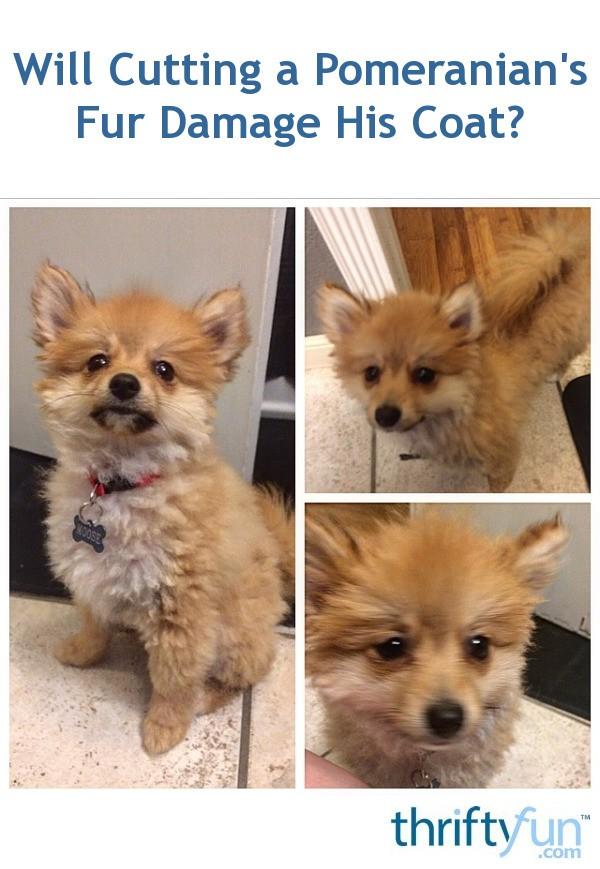 Pomeranian Short Haircut : pomeranian, short, haircut, Cutting, Pomeranian's, Damage, Coat?, ThriftyFun