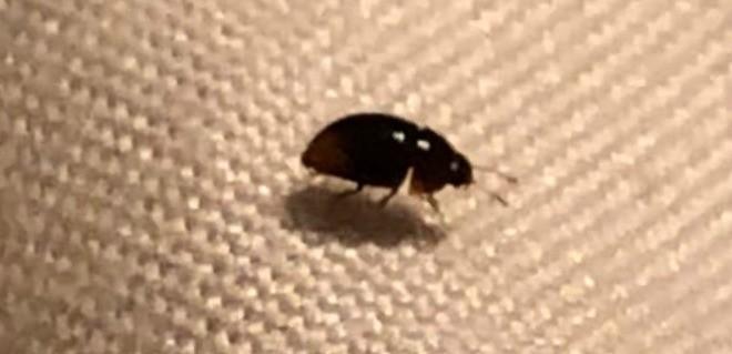 Identifying Bed Bug Bite