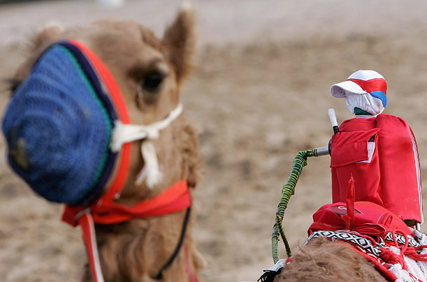 A robot jockey rides a camel before a race at Nad al-Sheba in Dubai, where, controversially, children from India have been used to handle the animals.