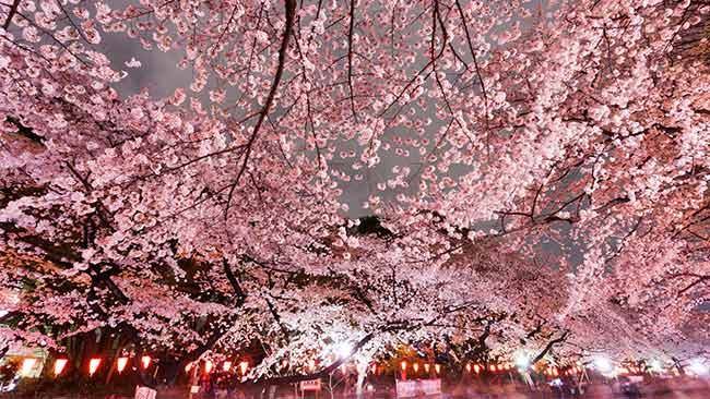 10 Places in Tokyo to see cherry blossoms this spring
