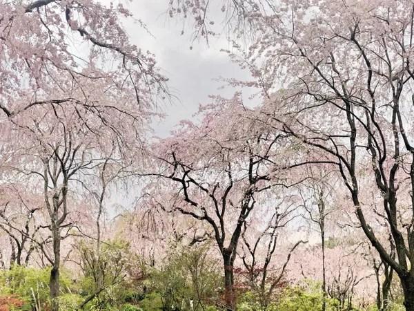 【2018京都。櫻花】鋪天蓋地的櫻花!超夢幻的原谷苑 ︎@Sakurako (49429) - 旅行酒吧
