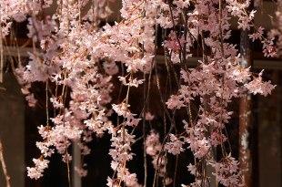 [自助旅行] 京都賞櫻,水火天滿宮。人煙稀少的紅枝垂櫻花穴場。