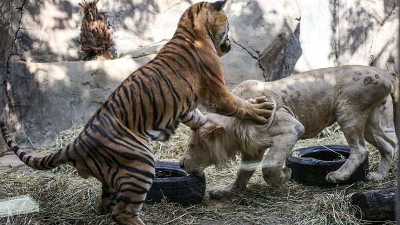 1603455296 340 beyaz aslan ile bengal kaplaninin dostlugu gorenleri hayrete dusuruyor