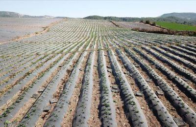 Yayladağı çileğinden çerez, reçel ve pestil yapılarak yurt dışına pazarlanacak