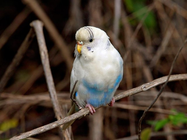 Little white and blue Parakeet