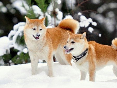 Cute Wallpapers For Friendship Day Brown Alaskan Husky Wallpapers Every Day
