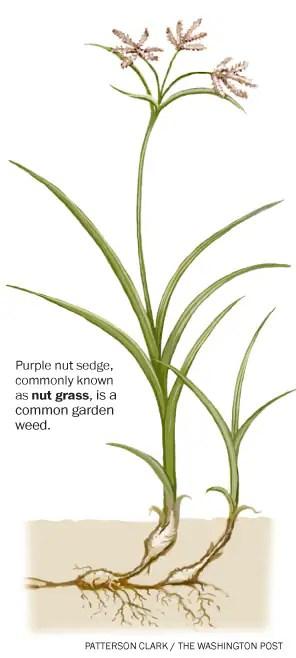 w-Nut_Grass296