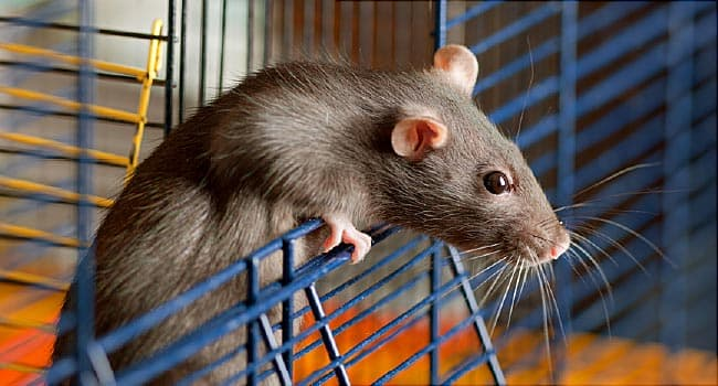 Got a Pet Rat? Watch Out for This Scary New Virus – WebMD