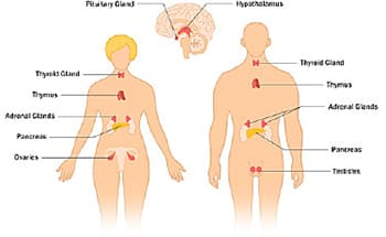 endocrine system diagram how to wire a double light switch what is the glands and their function illustration