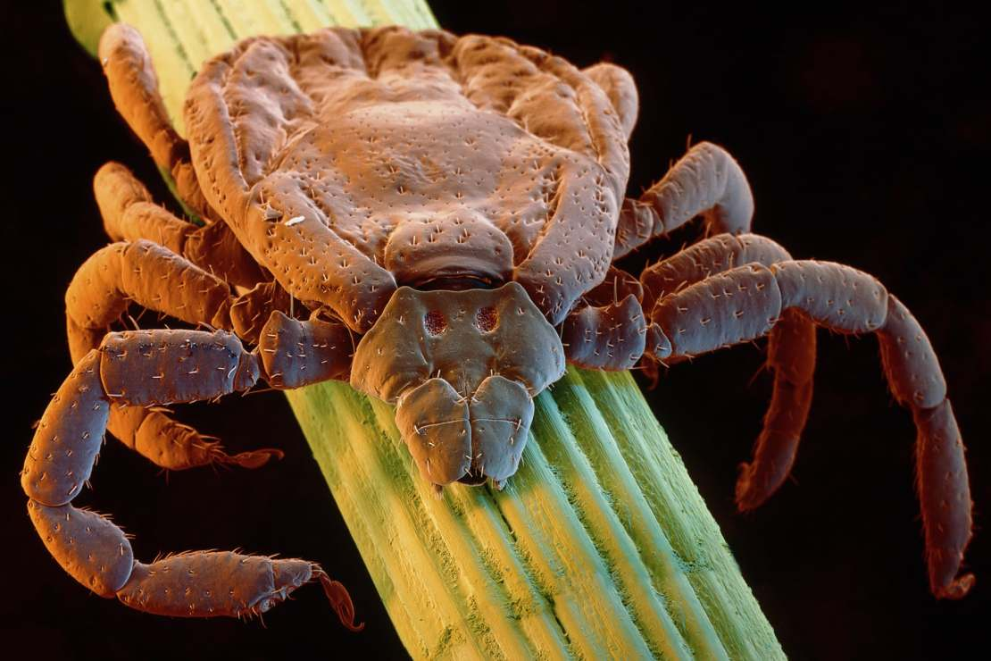 photo of tick close up