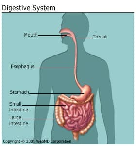 horse gi diagram hunter ceiling fan wiring switch the digestive system organs function and more