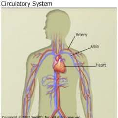 Vascular Anatomy Diagram Lower Dental Numbering And Circulation Of The Heart How Does Blood Travel Through