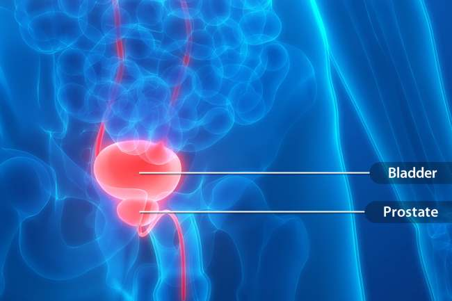 photo of bladder and prostate gland anatomy