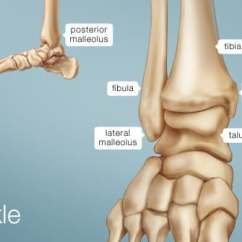 Human Leg Anatomy Diagram Employee Life Cycle Ankle Image Function Conditions More Picture Of The