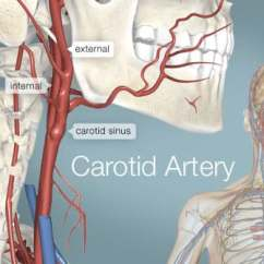 Human Vascular Anatomy Diagram Plano Concave Lens Ray Carotid Artery Picture Definition Conditions More Of The