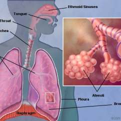 The Lung Anatomy Diagram Label 69 Firebird Wiring Lungs Human Picture Function Definition Conditions Of