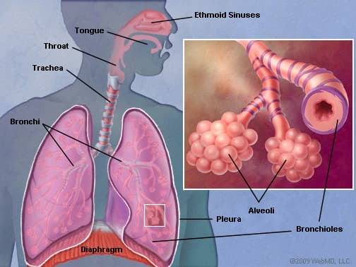 diagram of the nose and its functions wiring ford f150 lungs human anatomy picture function definition conditions