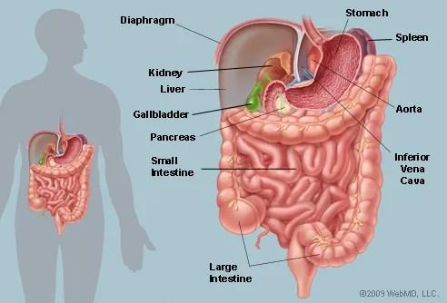 Illustration of the human abdominal organs