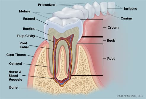 The Teeth (Human Anatomy): Diagram, Names, Number, and