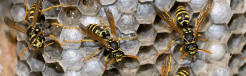 Wasp control Langley