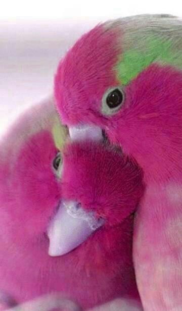 Pink Feathers Falling Wallpaper Florya Saka Kanarya Muhabbet Kuşları Doğa Kuşları