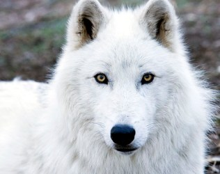 wolf blood covered action she wolfs pack fangs accepting romance rp username peak