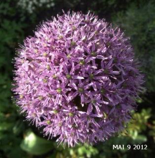 zurhederaue  Zwiebelblumen