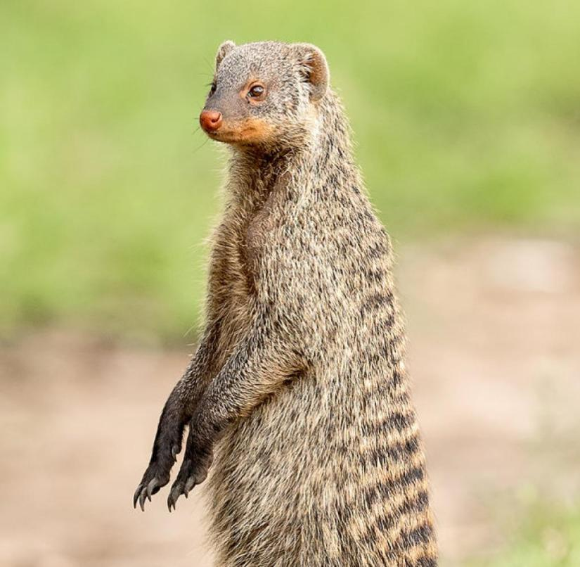 South Africa: In case of danger, the zebra mongoose stand on their hind legs and emit a sharp warning whistle