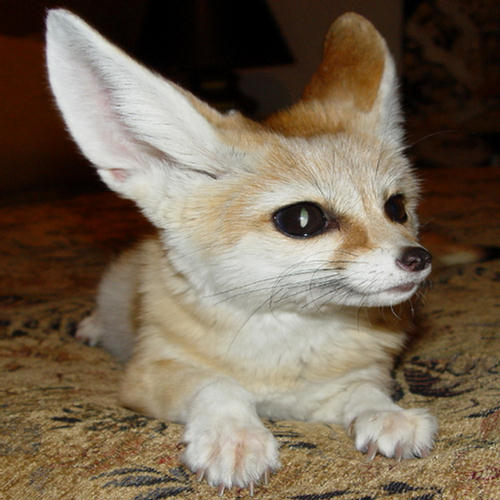 Cute And Sweet Wallpapers With Quotes Cutest Fennec Foxes In The World Xcitefun Net