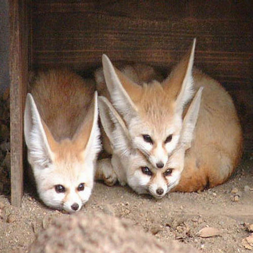 Sweet Cute Wallpapers With Quotes Cutest Fennec Foxes In The World Xcitefun Net